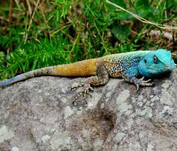 bluehead tree agama