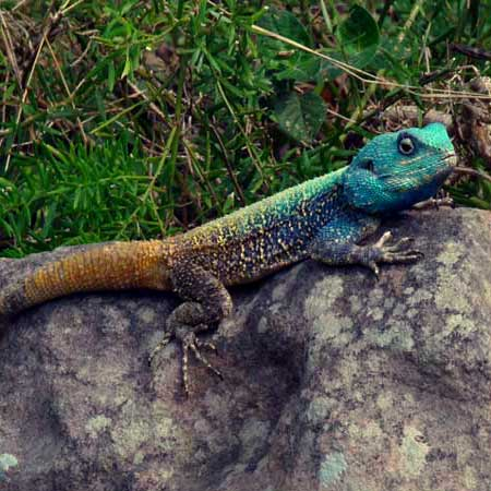 Agama Atricollis blue headed tree agama