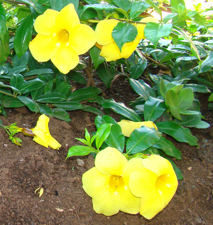 exotic landscape design allamanda flower